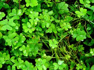 trèfle-saint-patrick-irlande